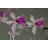 Holcoglossum amesianum