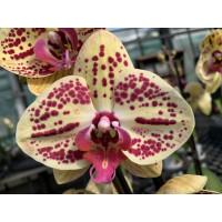 Phalaenopsis Elegant 'Golden Julia'