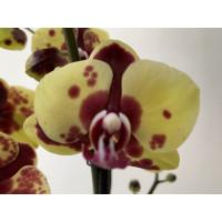 Phalaenpsis Flaming Jazz