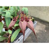 Bulbophyllum rothschildianum 'Fuhrberg Beauty' SM/DOG