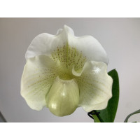 Paphiopedilum Mrs. White (1 Blütenstiel)