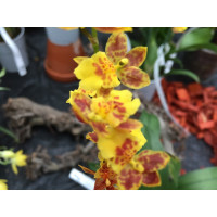 Howeara Chian Tzy Lovely 'Golden Bug'