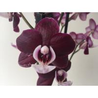 Phalaenopsis Black Widdow