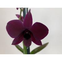 Dendrobium Sa-Nook 'Thailand Black'