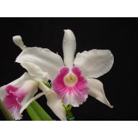 Laelia purpurata 'carnea' (Jgpfl.)