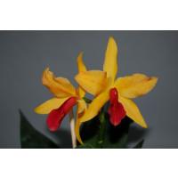 Laeliocattleya Golddigger 'Orchid Jungle'