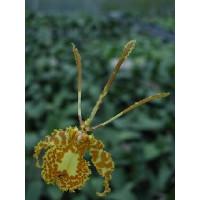 Psychopsis Butterfly (1 Stiel)