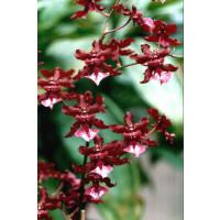 Oncidium Sharry Baby 'Sweet Fragrance' (2 Rispen)