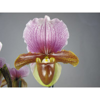 Paphiopedilum charlesworthii (Jgpfl.)