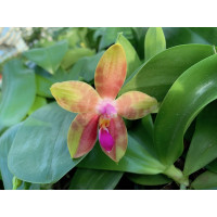 Phalaenopsis amboinensis x Phal. bellina