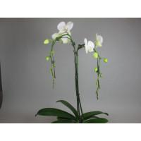 Phalaenopsis White Tree