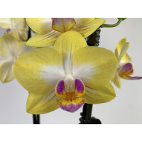 Phalaenopsis Buttercup
