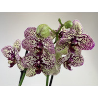 Phalaenopsis Cleopatra