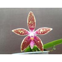 Phalaenopsis corningiana (Jgpfl.)