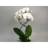 Phalaenopsis Twister 'White'