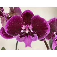 Phalaenopsis Hot 'Kizz'