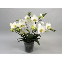 Phalaenopsis Lausanne (4+ Rispen)