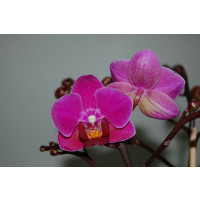 Phalaenopsis Mini Purple