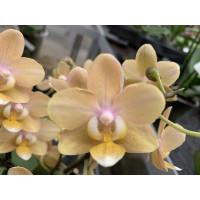 Phalaenopsis Scentsation
