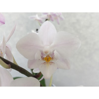 Phalaenopsis Snow Flake