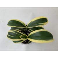 Doritaenopsis Sogo Vivien 'marginata' (3-4 Rispenansätze)