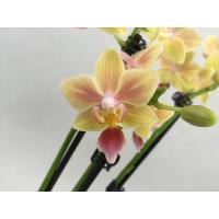 Phalaenopsis Sunny Smell (3-4 Rispen)