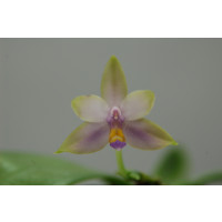 Phalaenopsis violacea 'coerulea'