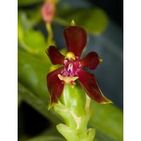Phalaenopsis cornu-cervi 'chataladae'