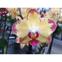 Phalaenopsis Papagayo