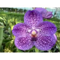 Vanda Purple Sensation