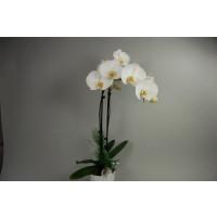 Weihnachts-Präsentpflanze, Phal. (2 Blütenrispen)