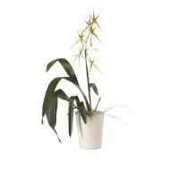 Brassia Hybride, 1 Rispe (inkl. Übertopf)