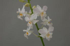 Doritis pulcherrima 'alba' (2-3 Rispen)
