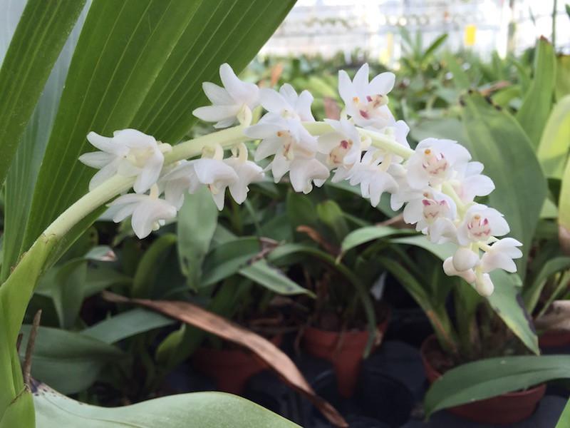 orchid species Dendrochilum pagasinanense