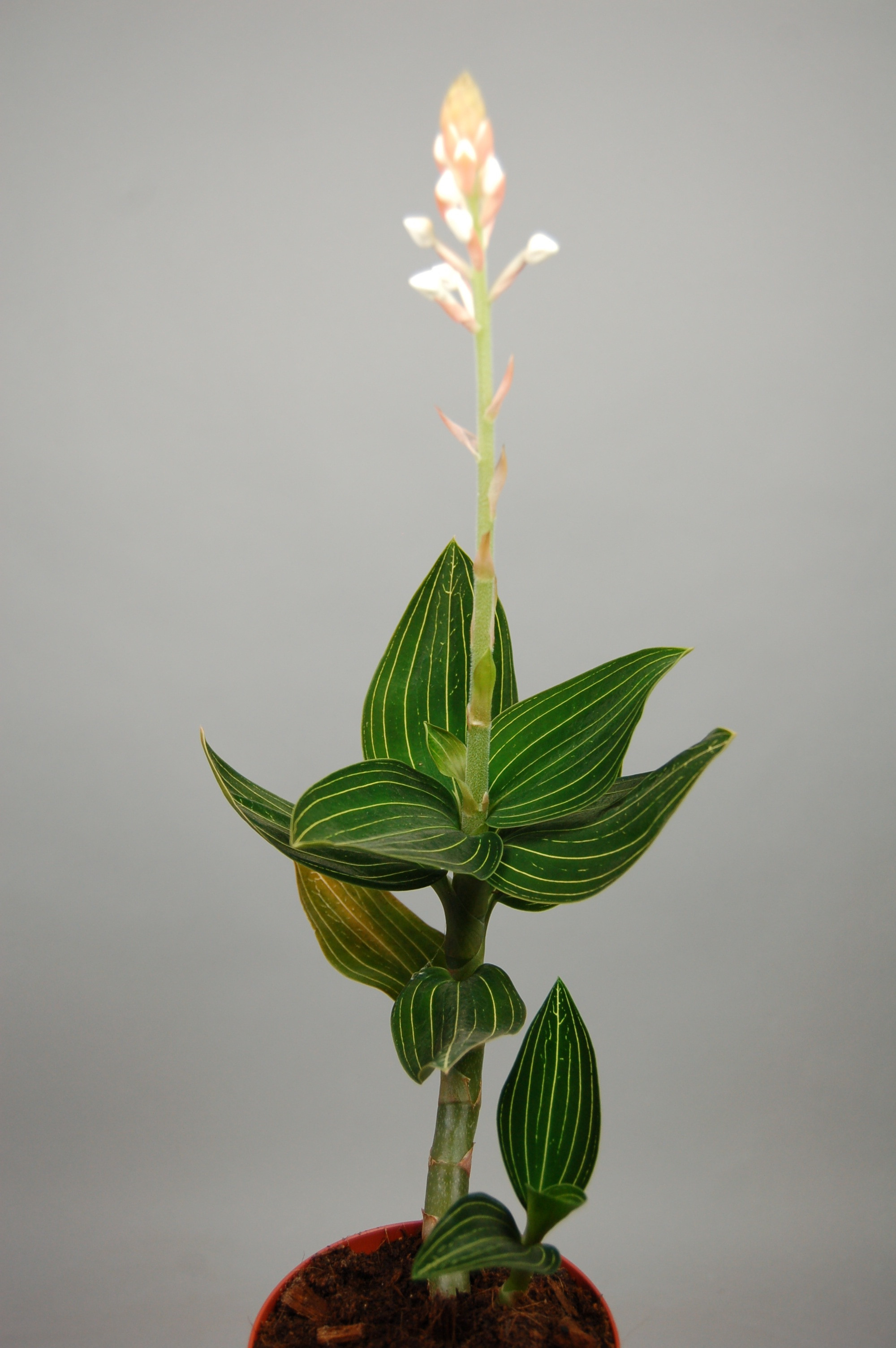 Ludisia Discolor Alba Orchideen Wichmann De Highest