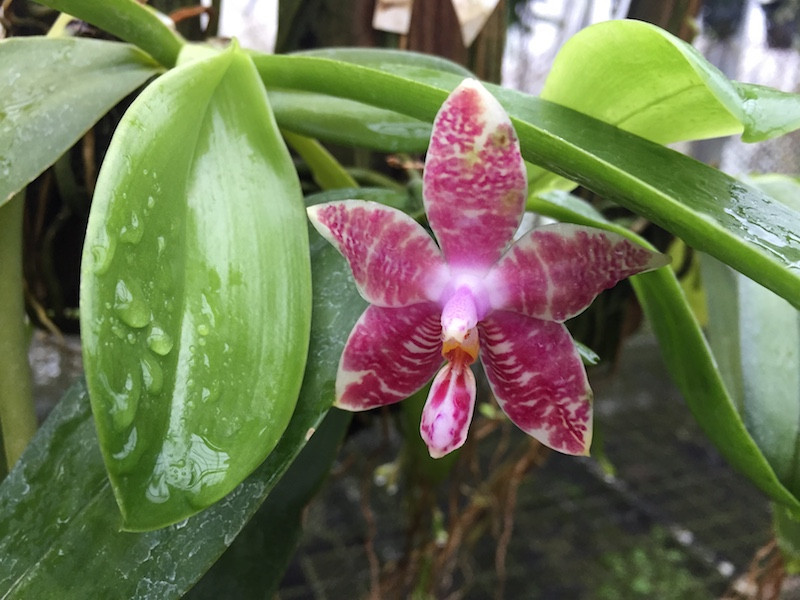Rare orchid species seedling Phalaenopsis  bellina x amboinese