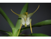 Aeranthes grandiflora