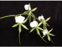 Angraecum xerophilum