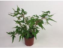 Begonia tripartida
