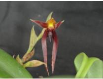 Bulbophyllum nymphoploitanum