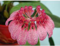 Bulbophyllum eberhardtii 1