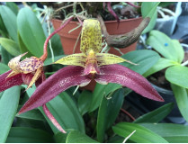 Bulbophyllum lobbii x frostii