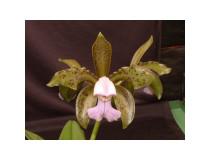 Cattleya leopoldii 'coerulea'