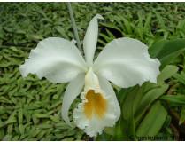 Cattleya gaskelliana 'alba'