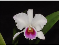 Cattleya percivalliana semialba
