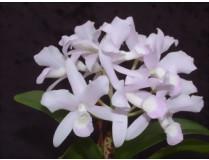 Cattleya skinneri 'amoena'
