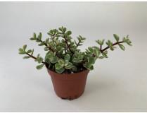 Crassula Afra variegata