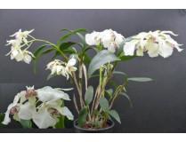 Dendrobium eximum x rhodostictum