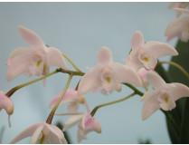 Dendrobium delicatum 1