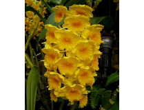 Dendrobium densiflorum